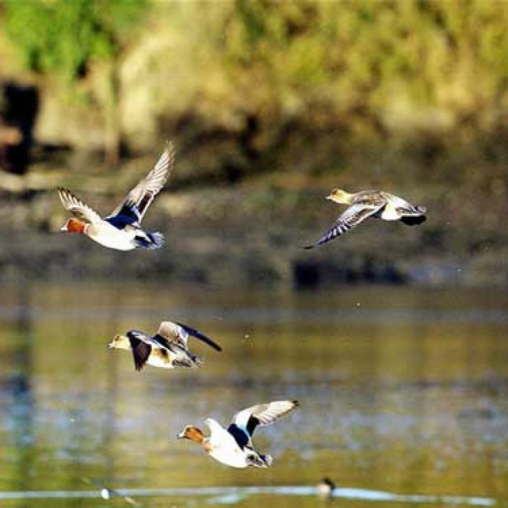 Duck Hunting Shooting Tips How To Lead A Duck